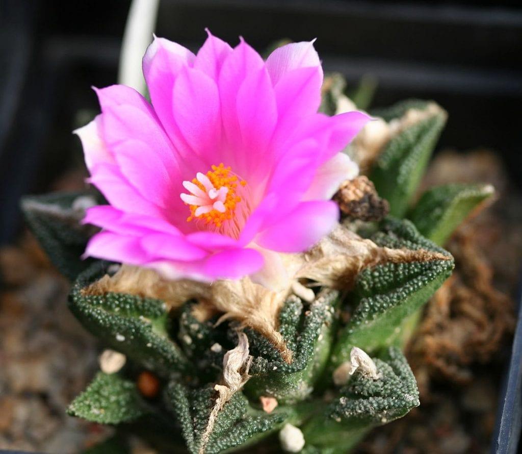 A. fissuratus subsp. hintonii