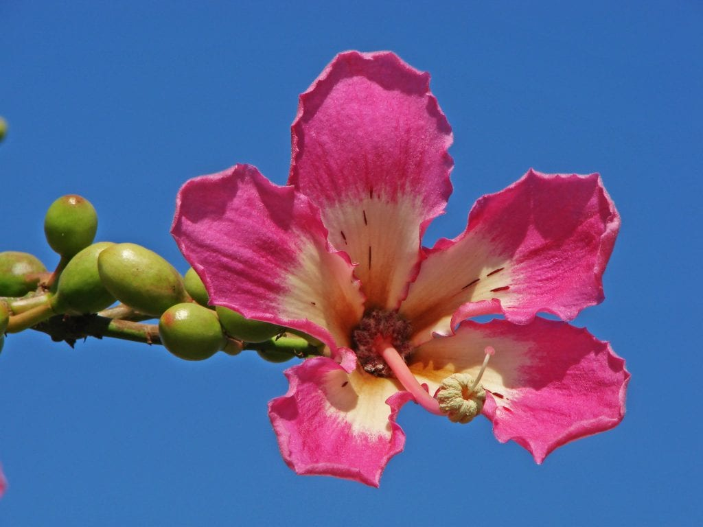 Flor de la Ceiba speciosa