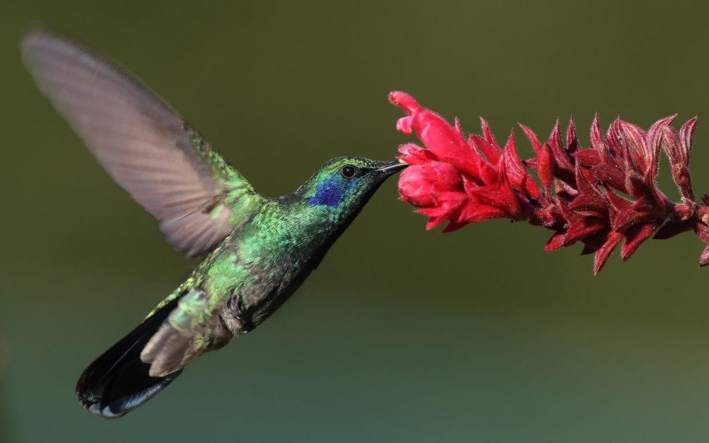 colibri-thalassinus