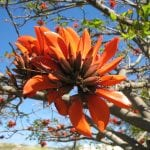 Erythrina en flor