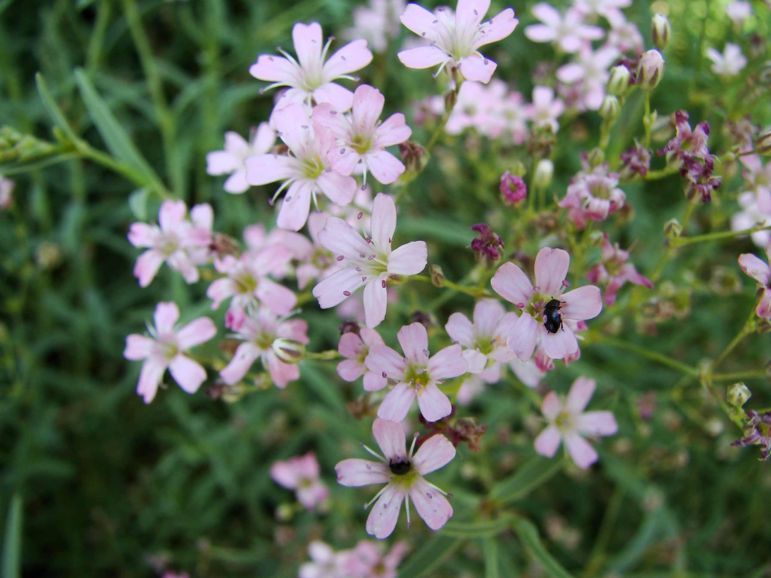 Gypsophila repens en flor
