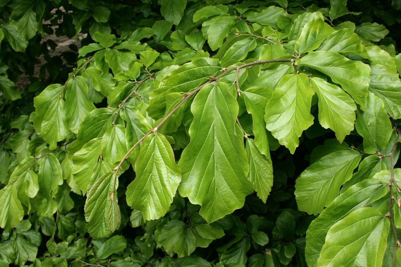 Hojas Parrotia persica