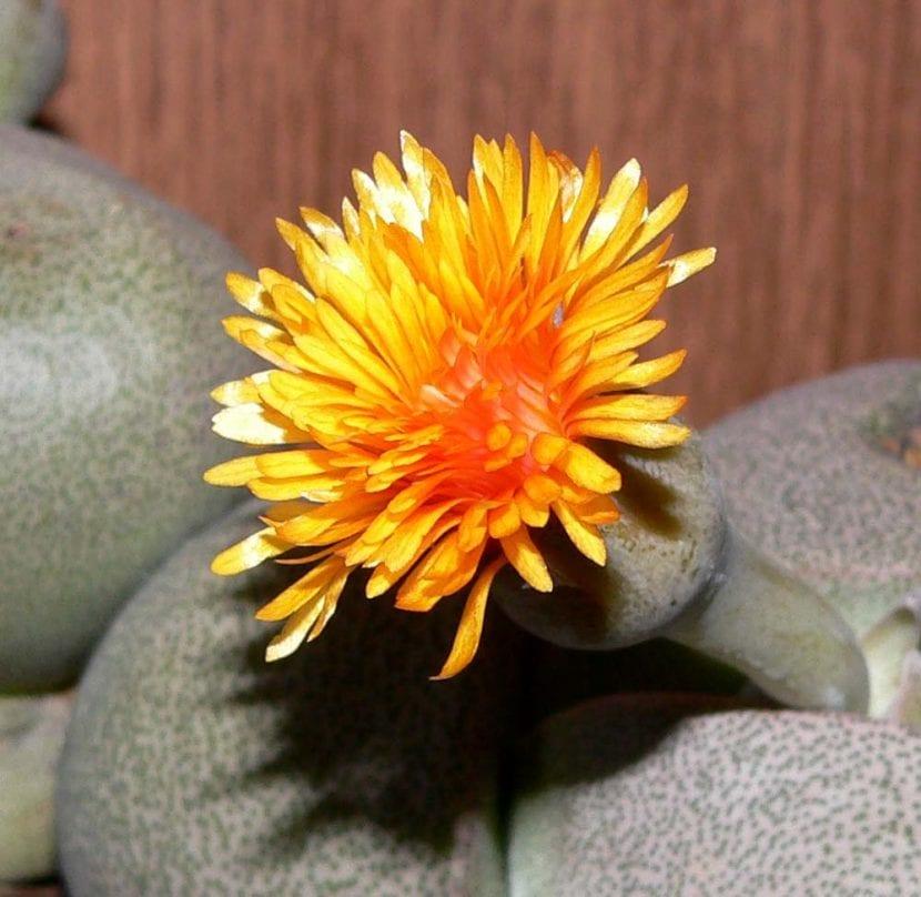 Flor de Pleiospilos nelii
