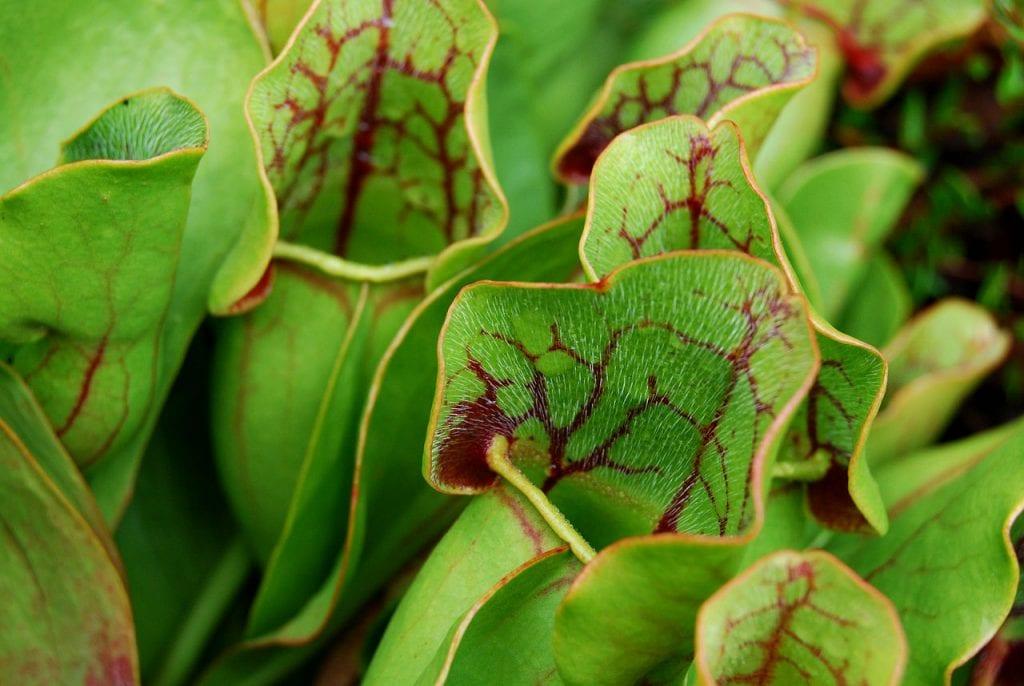 C mo cuidar las plantas carn voras en invierno for Como cuidar las plantas