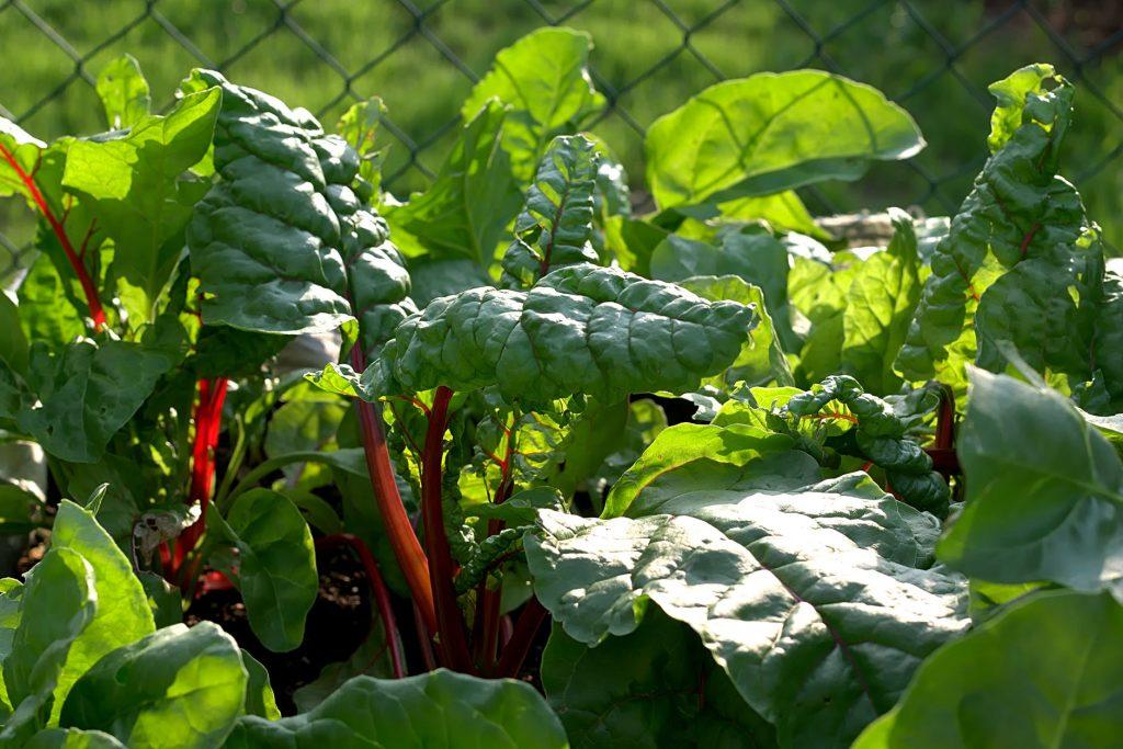La acelga es una hierba comestible