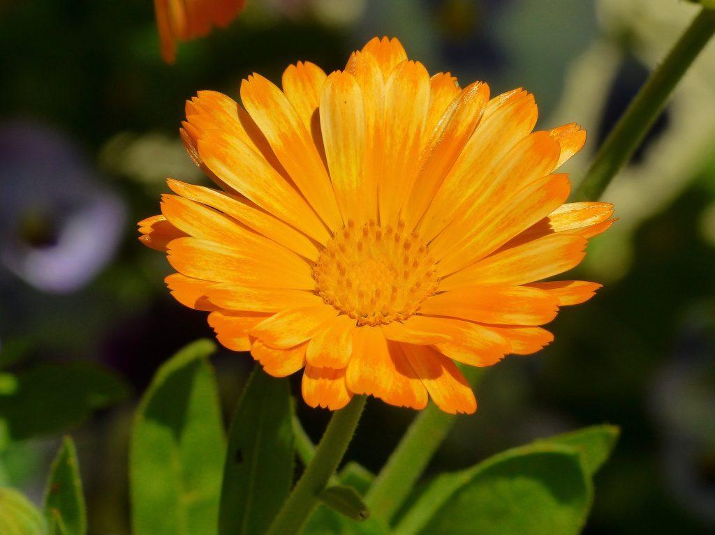 La calendula es una flor comestible