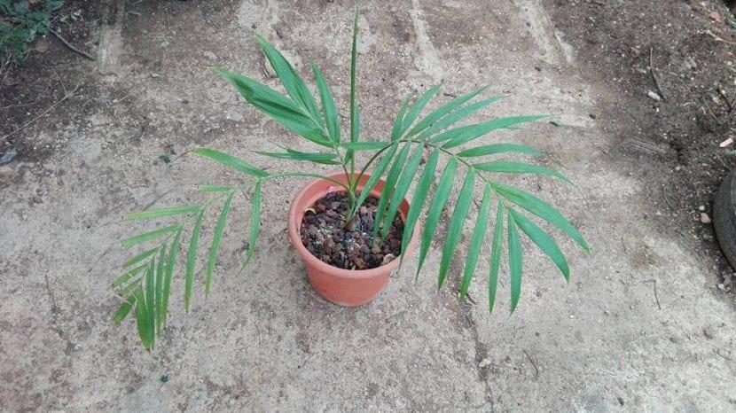Chamaedorea hooperiana, de mi colección.