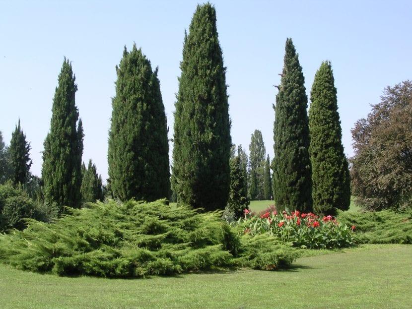 Cipreses en un jardín