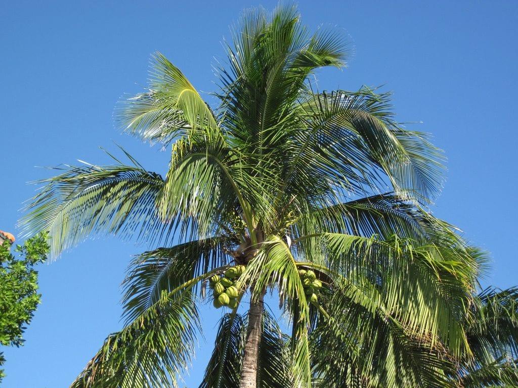 Cocos nucifera (palmera cocotera)