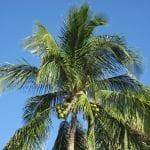 Cocos nucifera, la palmera cocotera