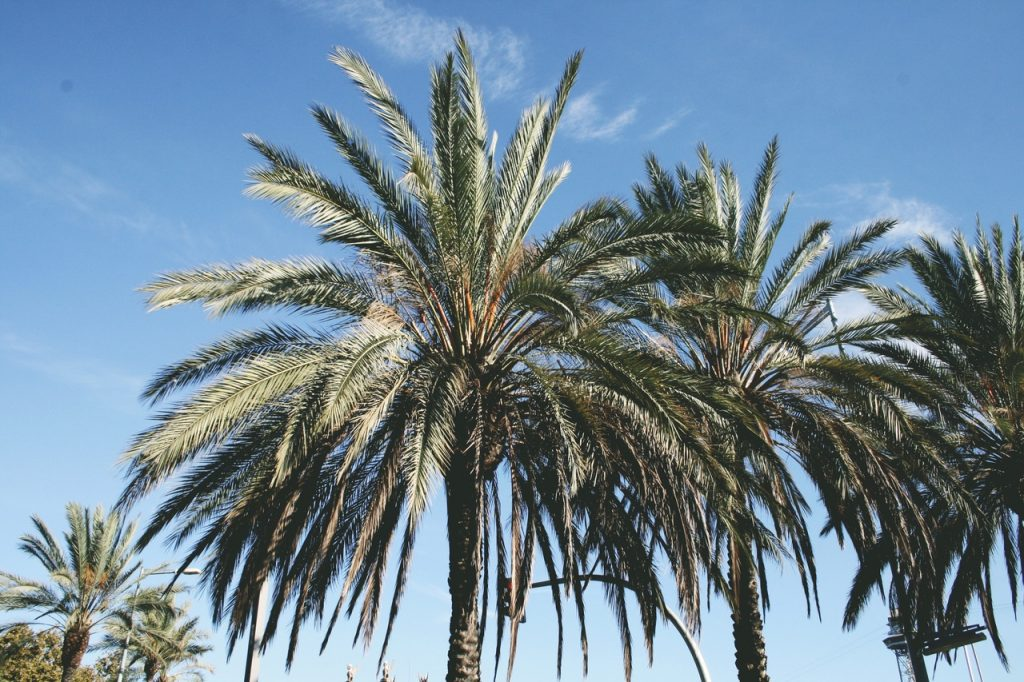 La datilera es una palmera
