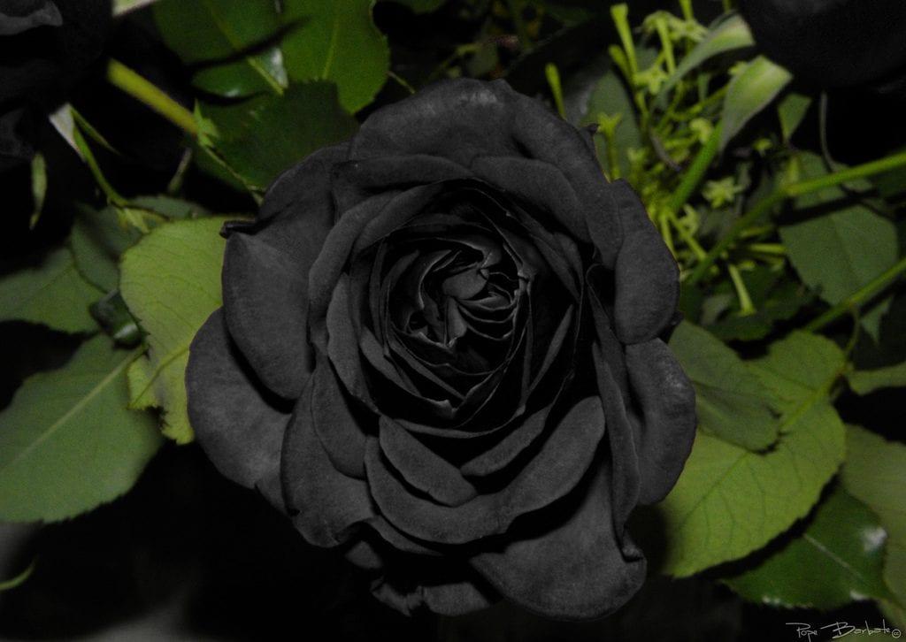 Rosas negras existen de forma natural - Vivero la rosa del norte ...