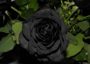 Flor de rosa negra