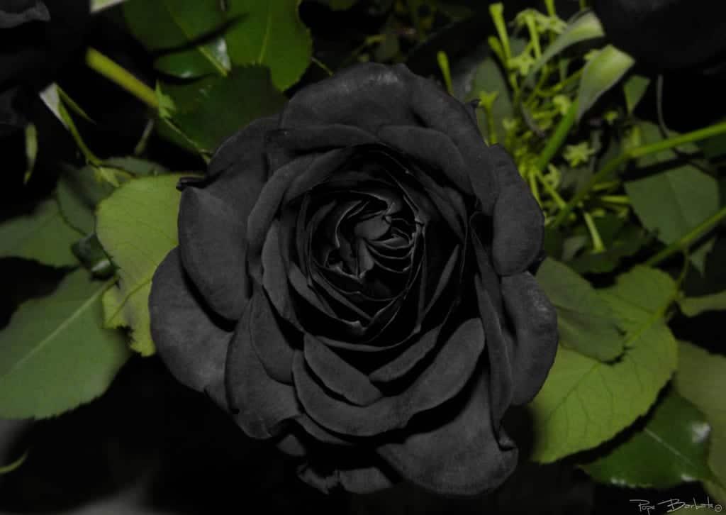 Rosas Negras, ¿existen De Forma Natural?