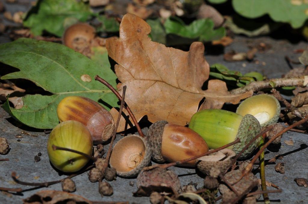 Por lo general, los frutos de los árboles maduros no son tóxicos, como las bellotas de los robles por ejemplo.