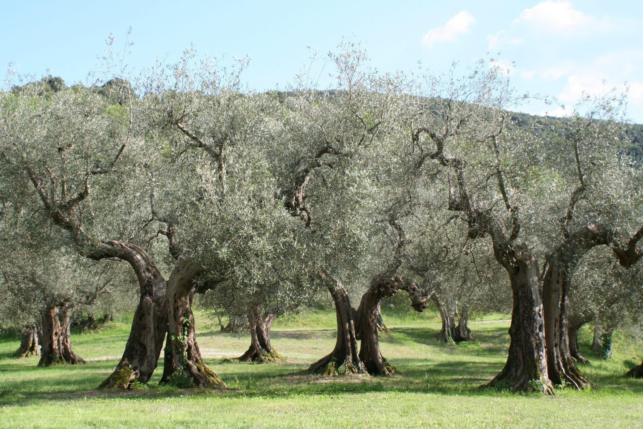 Plantación de olivos en un campo