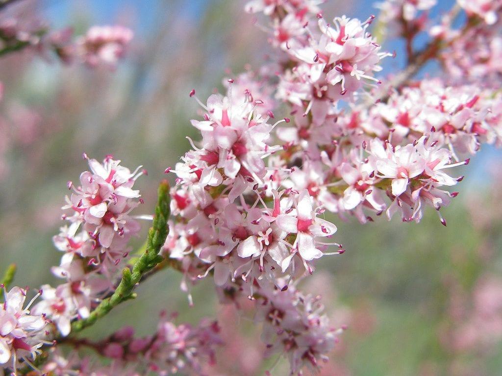 tamarix-flores