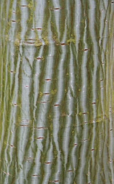 Detalle del tronco del Acer davidii