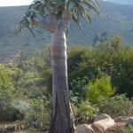 Aloe pillansii