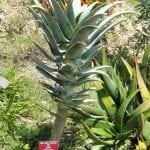 El Aloe pillansii es un tipo de áloe arborescente