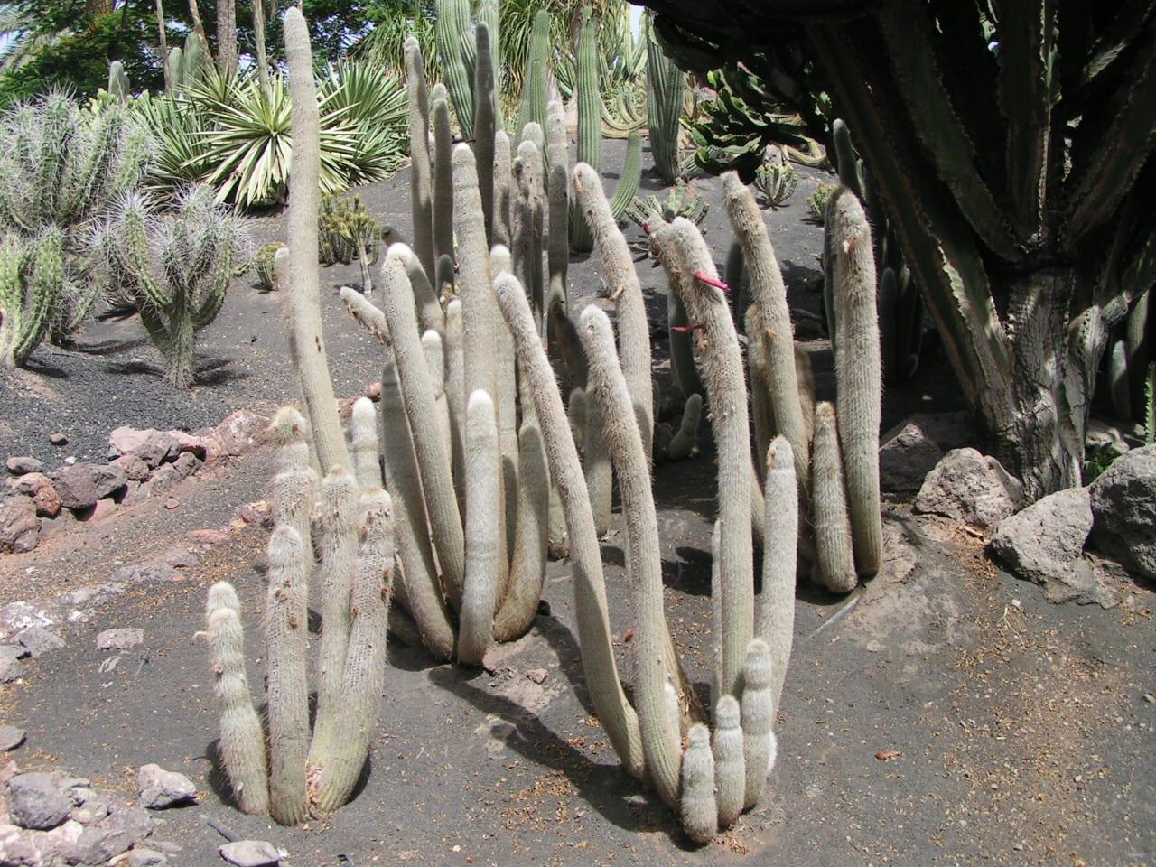 El Cleistocactus straussii es un cactus muy resistente al frío