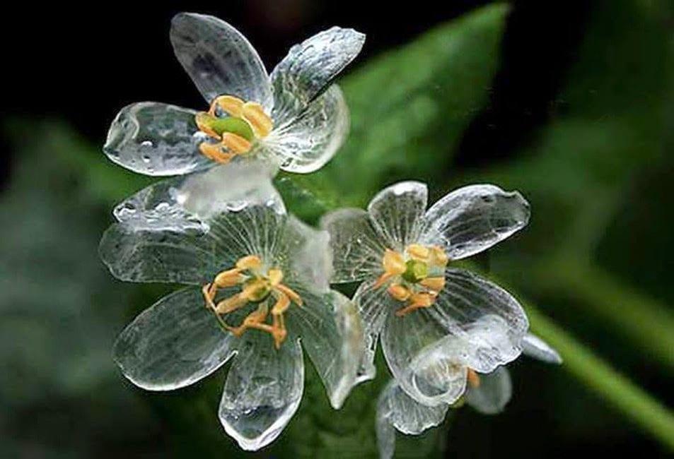 Diphylleia grayi, la flor de cristal