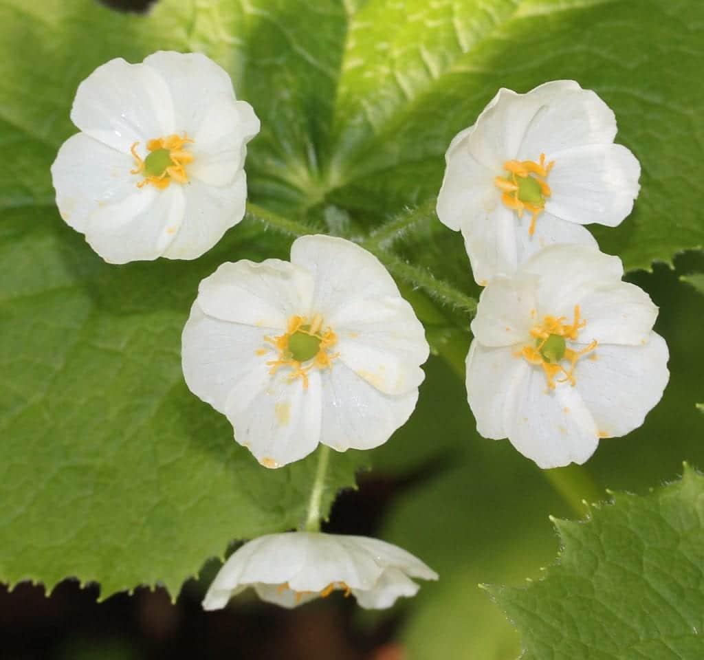Planta de Diphylleia grayi