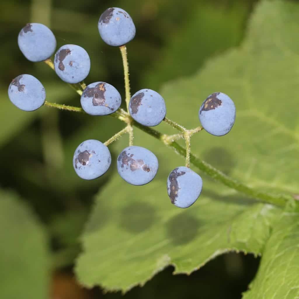Frutos de Diphylleia grayi