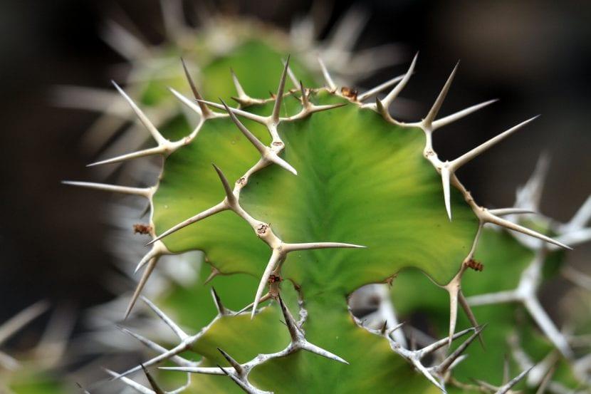 Detalle de las espinas de la Euphorbia grandicornis