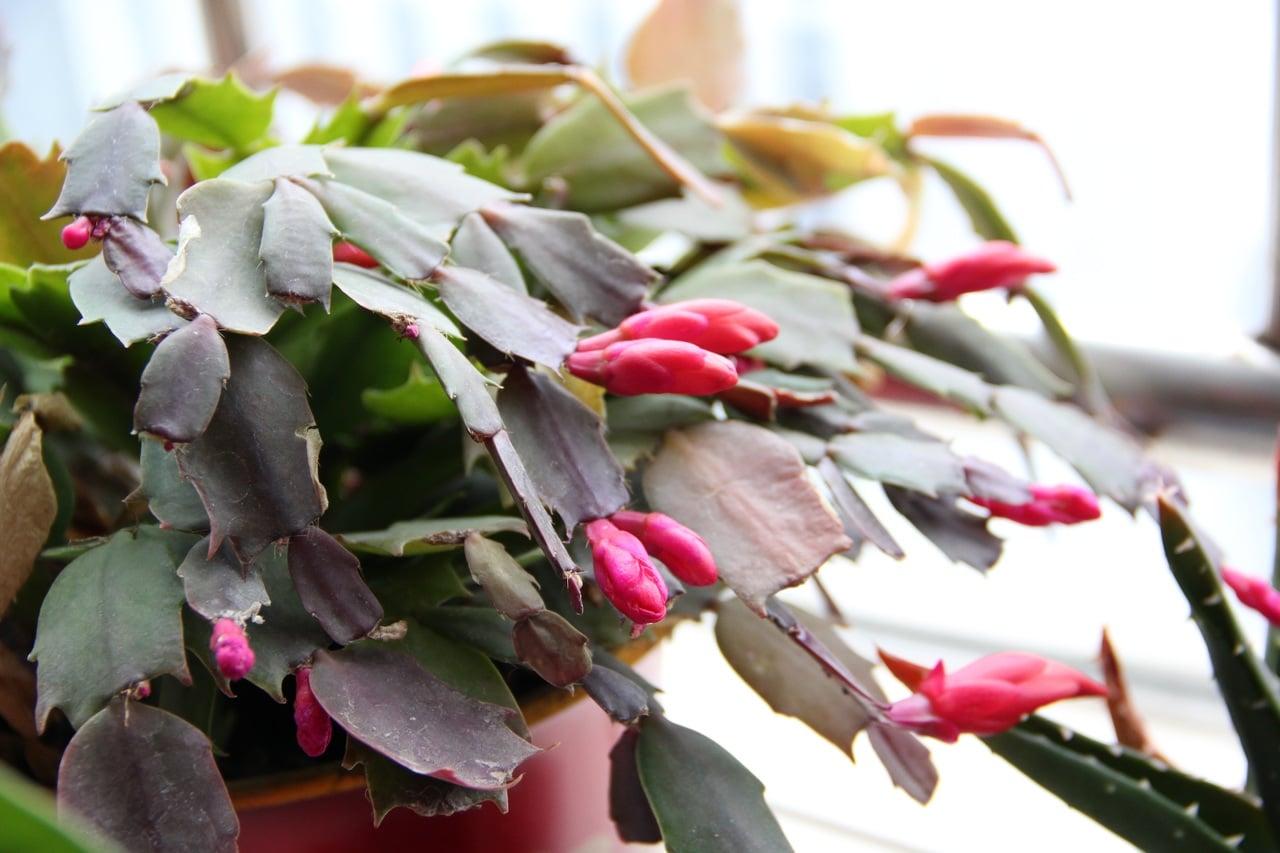 El cactus de navidad es una suculenta que se reproduce por esquejes