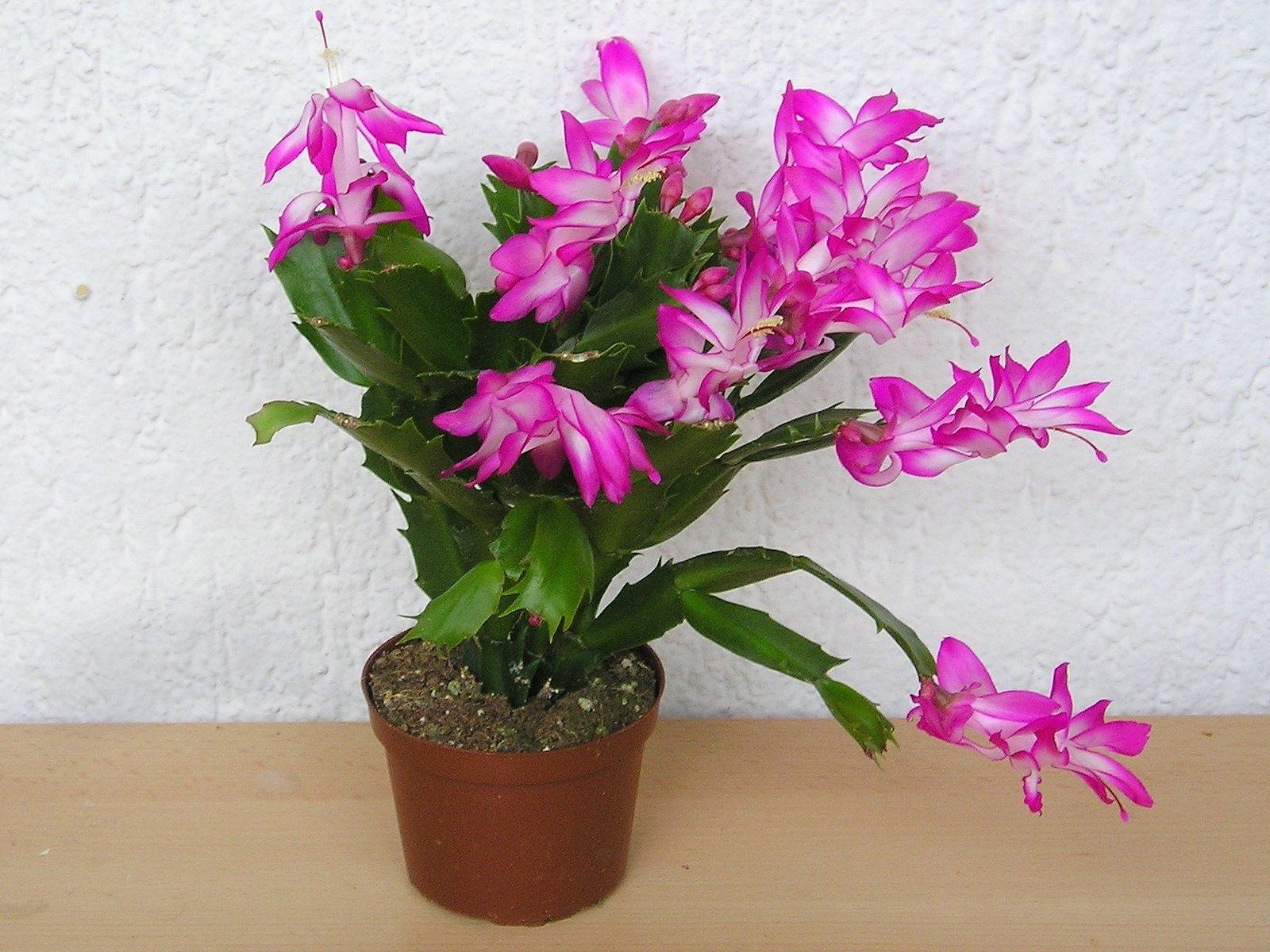 El cactus de navidad produce flores preciosas en invierno