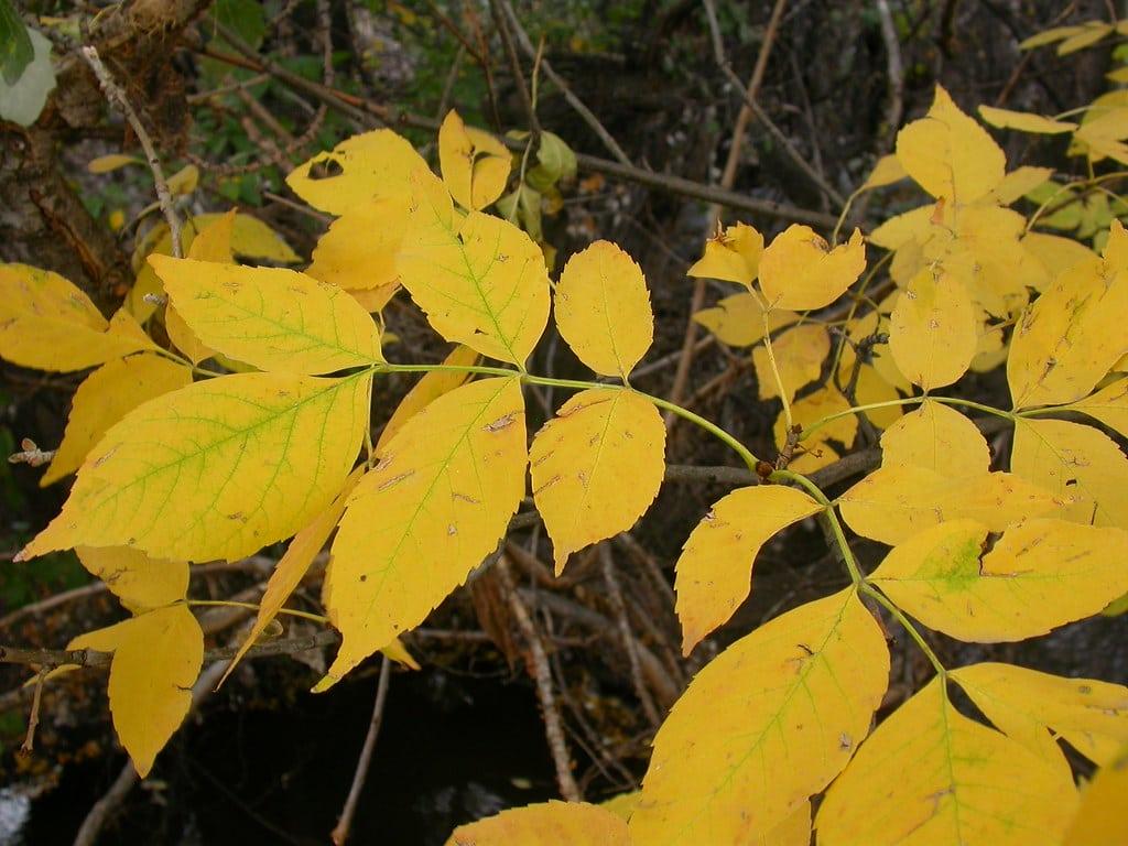 El fresno se pone precioso en otoño