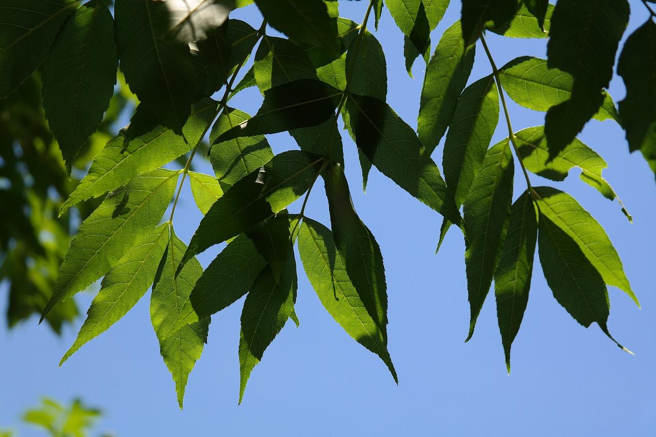 El fresno es un árbol de rápido crecimiento