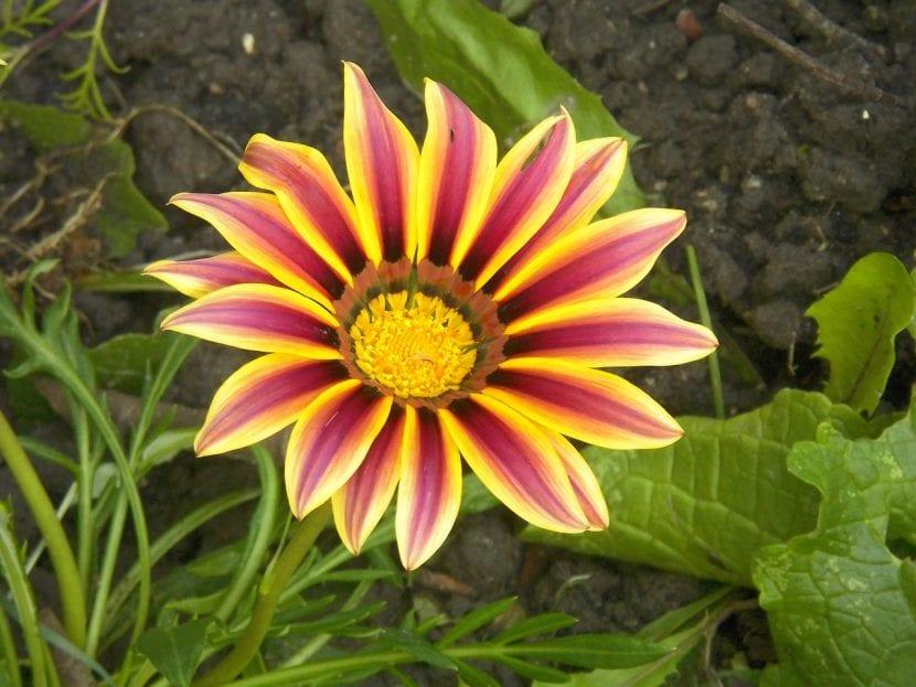 Gazania en flor