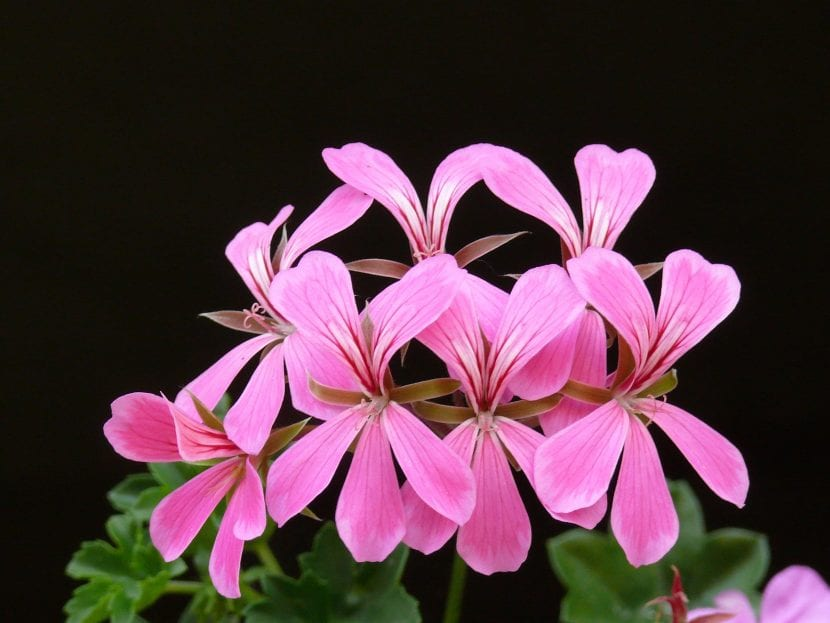 Flores de geranio