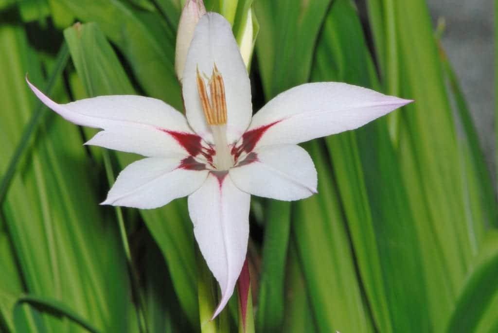 Gladiolo de Abisinia en flor