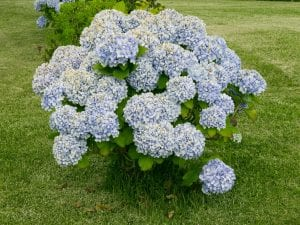 Hortensia en flor