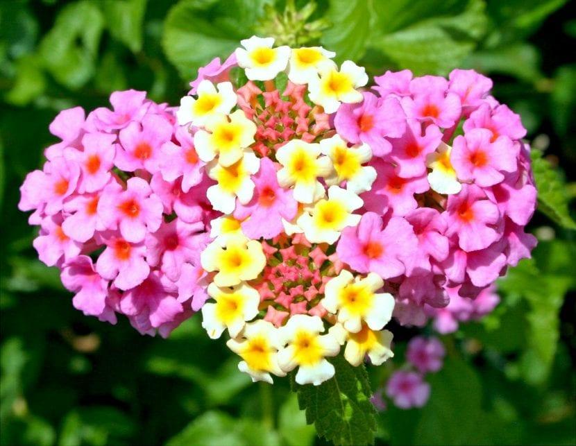 Lantana en flor