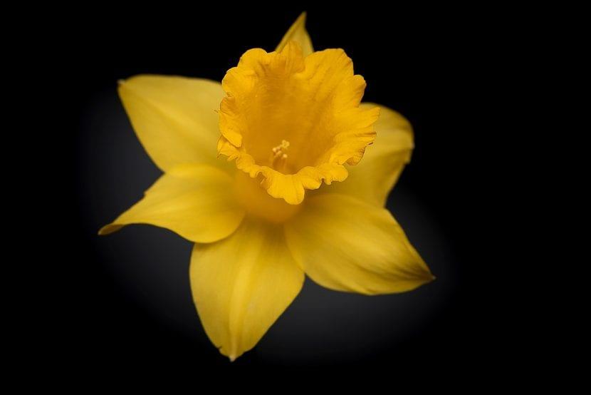 Narciso de flor amarilla