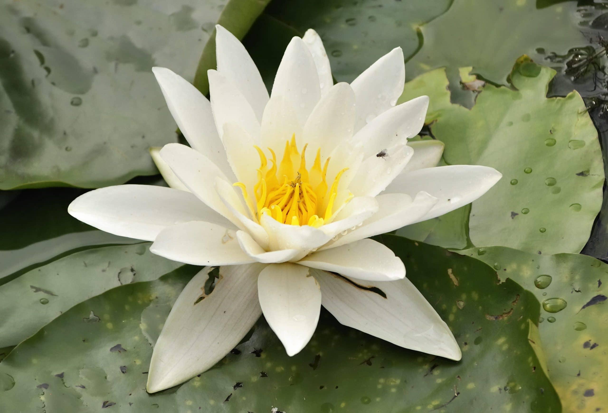 Nenúfar de flor blanca