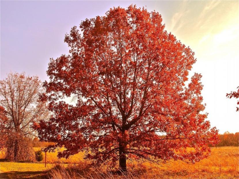Roble americano en otoño.