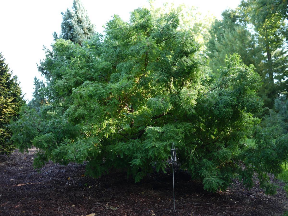 El ciprés de los pantanos es uin árbol enorme