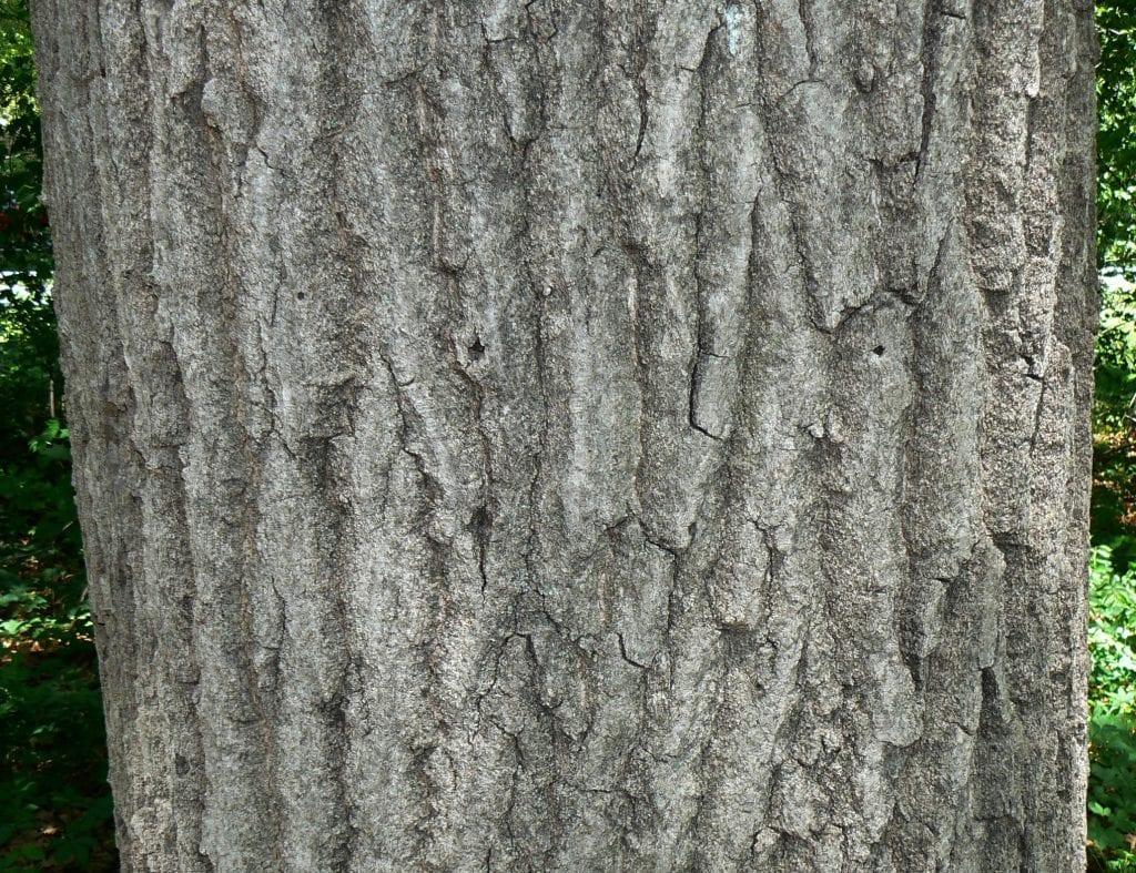 Detalle del tronco de un Roble americano.