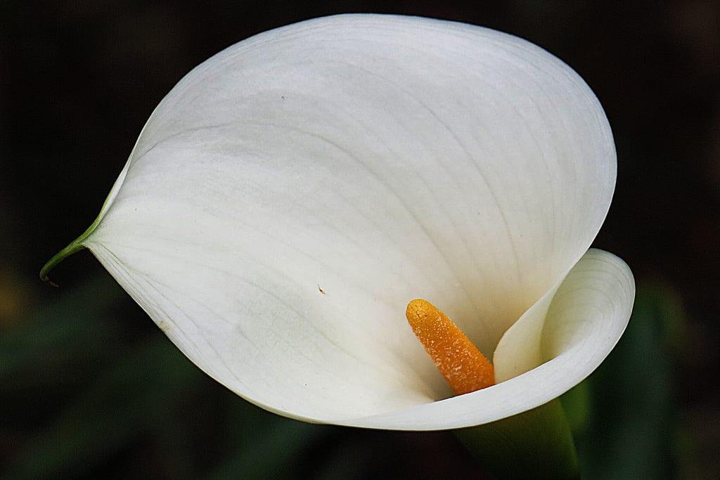 Flor de alcatraz