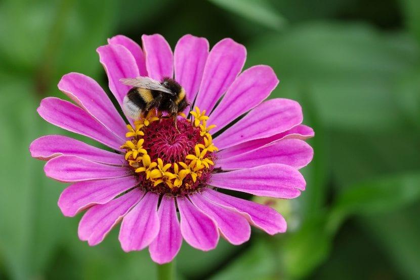 Zinnia de color lila