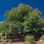 Ejemplar adulto de Acer monspessulanum