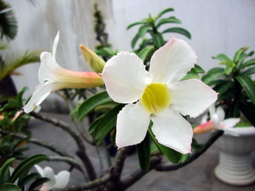 Adenium obesum de flor blanca