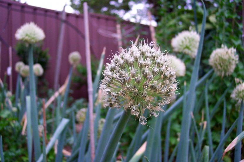 Flor de Allium ascalonicum