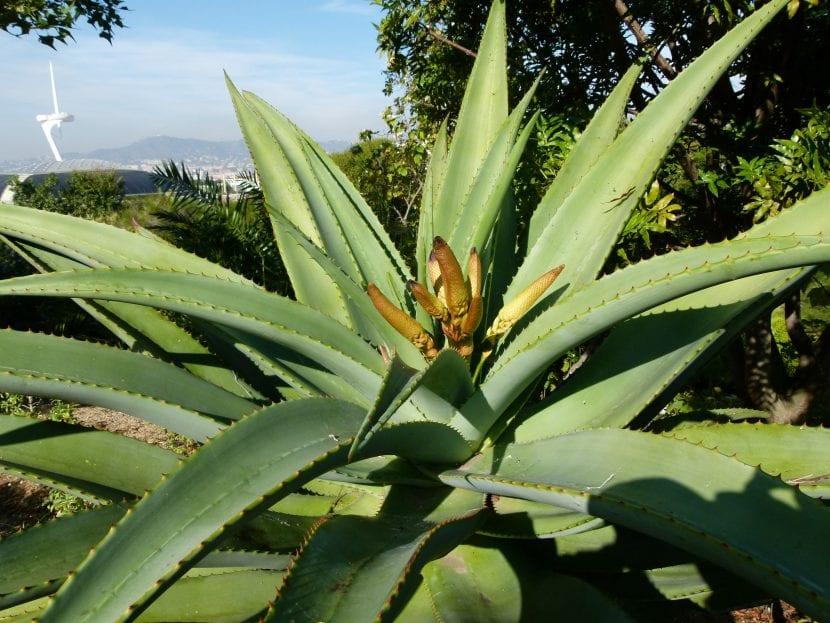 Aloe traskii preparándose para florecer
