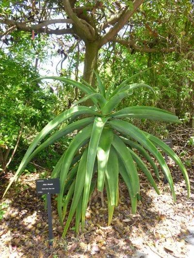 Aloe thraskii en un jardín botánico